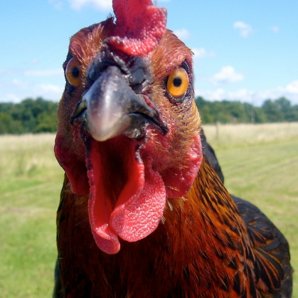 angry-chicken