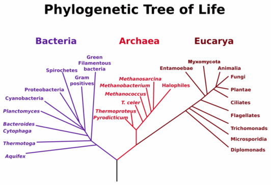 800px-phylogenetictree